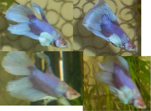 Rimski (Big ears croisé HM/QDV, BF imparfait; rouge avec irisation bleue, sur base claire La_cou11