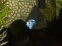 Rimski (Big ears croisé HM/QDV, BF imparfait; rouge avec irisation bleue, sur base claire Rimski10