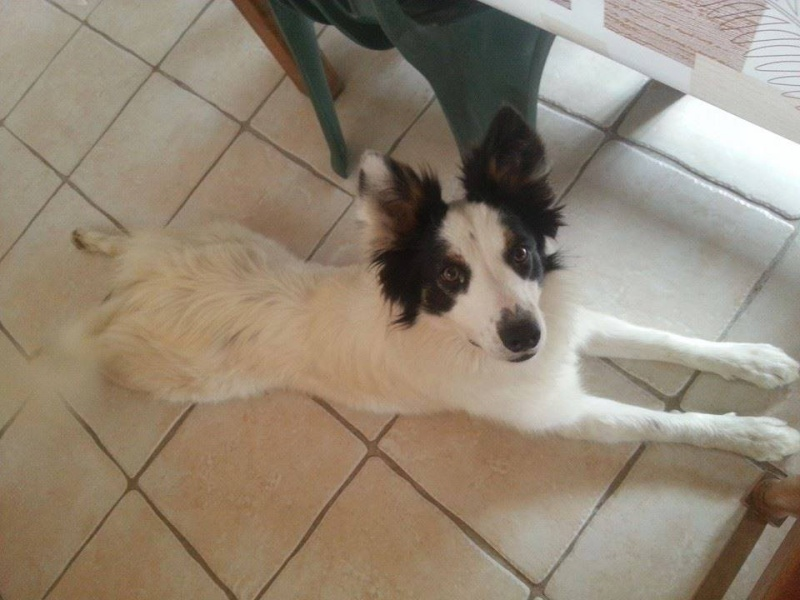 a donner chienne border collie  10544710