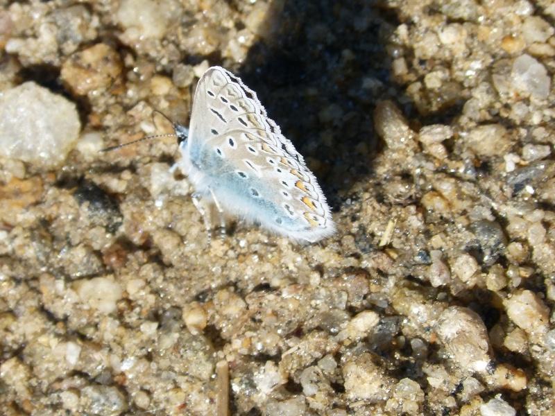 identification d'un azuré Argus_10
