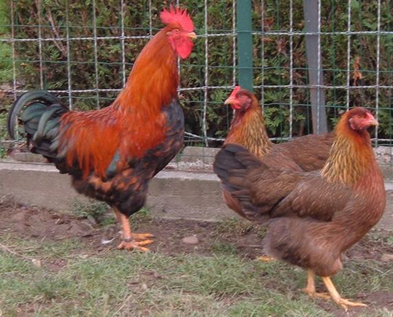 Cherche à acheter des poules de race Gauloise dorée Welsum10