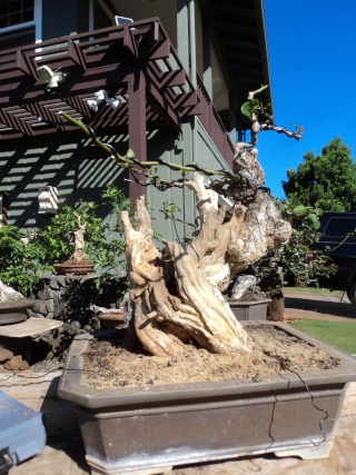 preliminary carving bougainvillea stump Dsc05713