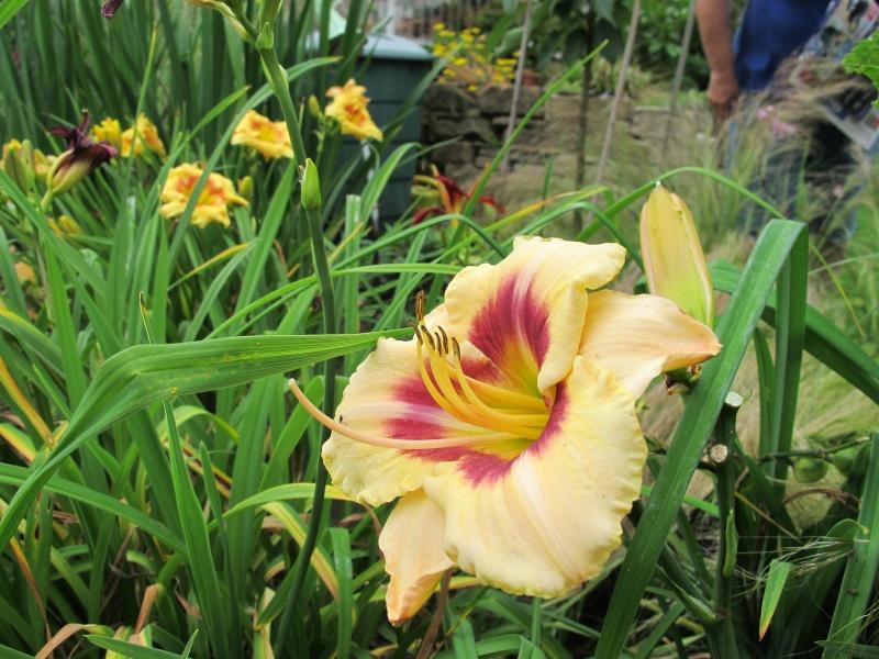 Hemerocallis - Taglilien - Schönheiten im Juni und Juli - Seite 5 2014_014