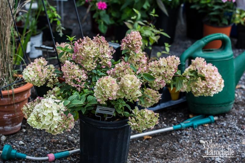Hydrangea paniculata Sundae Fraise Hydran11