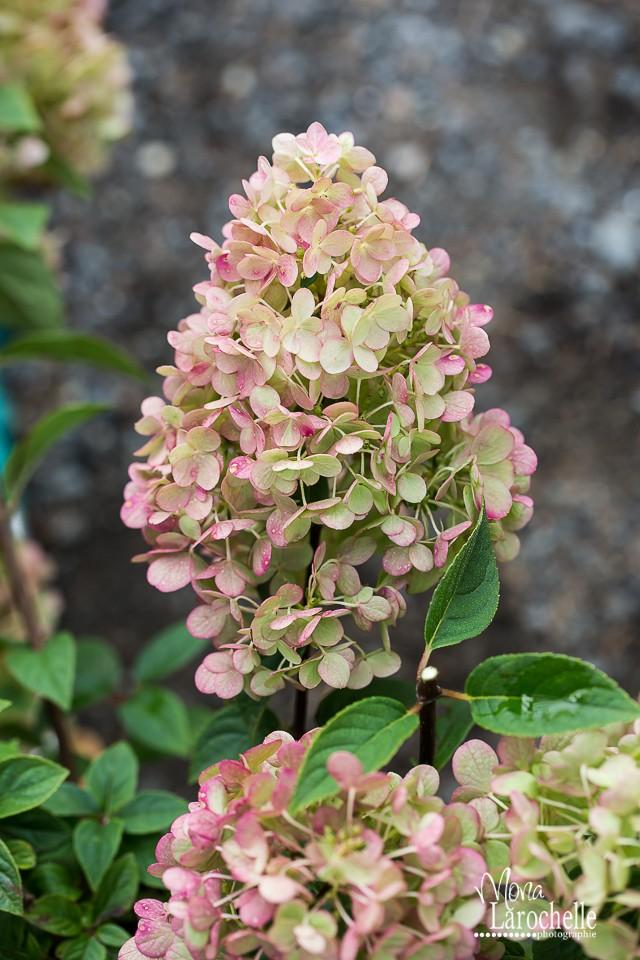 Hydrangea paniculata Sundae Fraise Hydran12