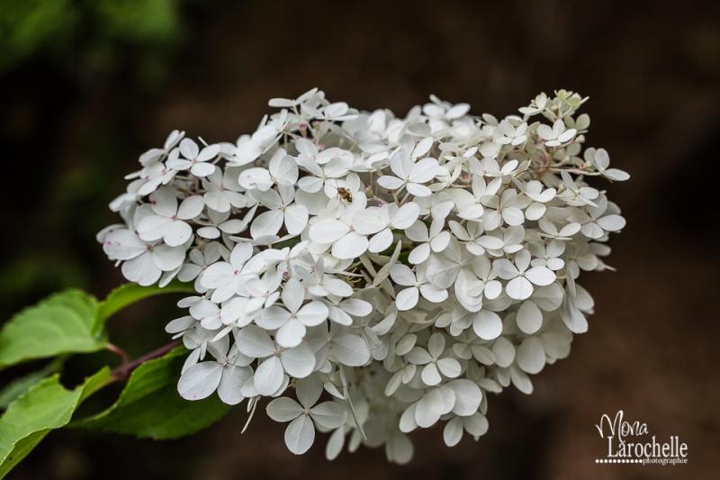 Hydrangea paniculata Vanille et Fraise ( Vanilla Strawberry ) - Page 2 Hydran13