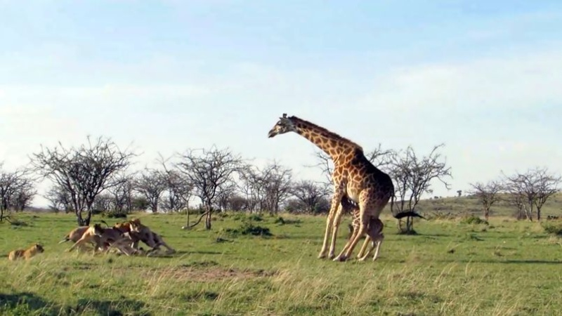 Naissances, tout ptits… - Page 6 Girafe10