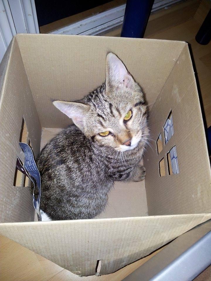 Chamallow, adorable chaton tigré ronronneur - réservé 10553510
