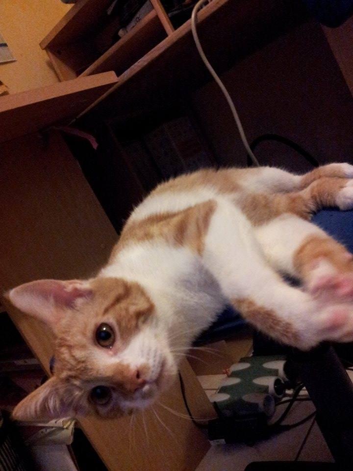 Pitch, le chaton parfait, roux et blanc, né mi-mars 2014 - réservé 10653210