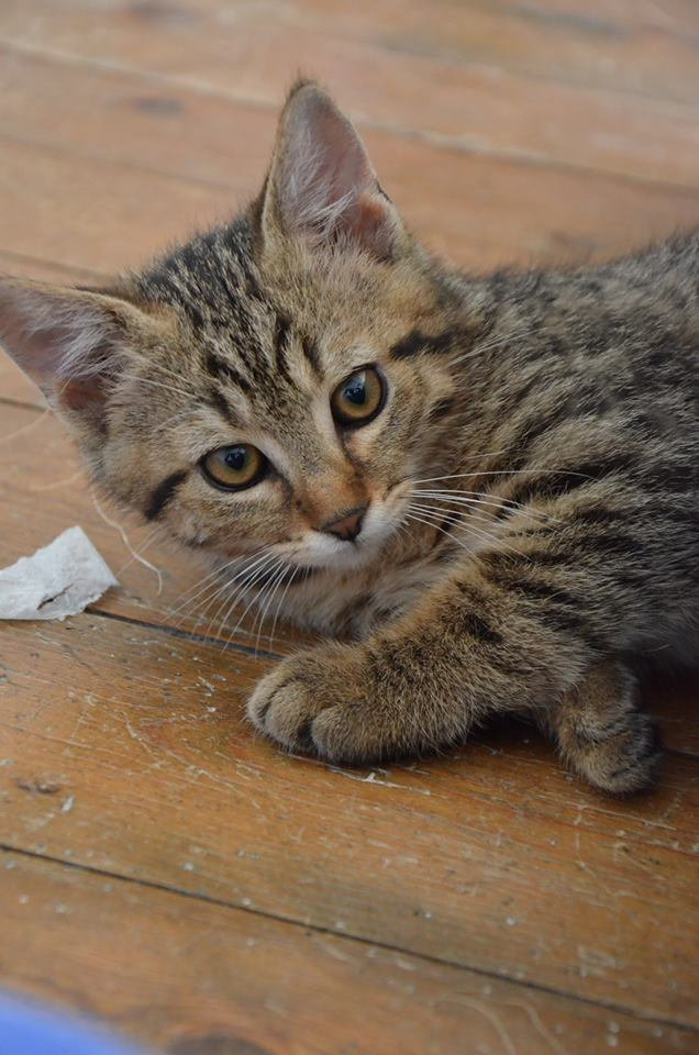 Chamallow, adorable chaton tigré ronronneur - réservé Chamal10