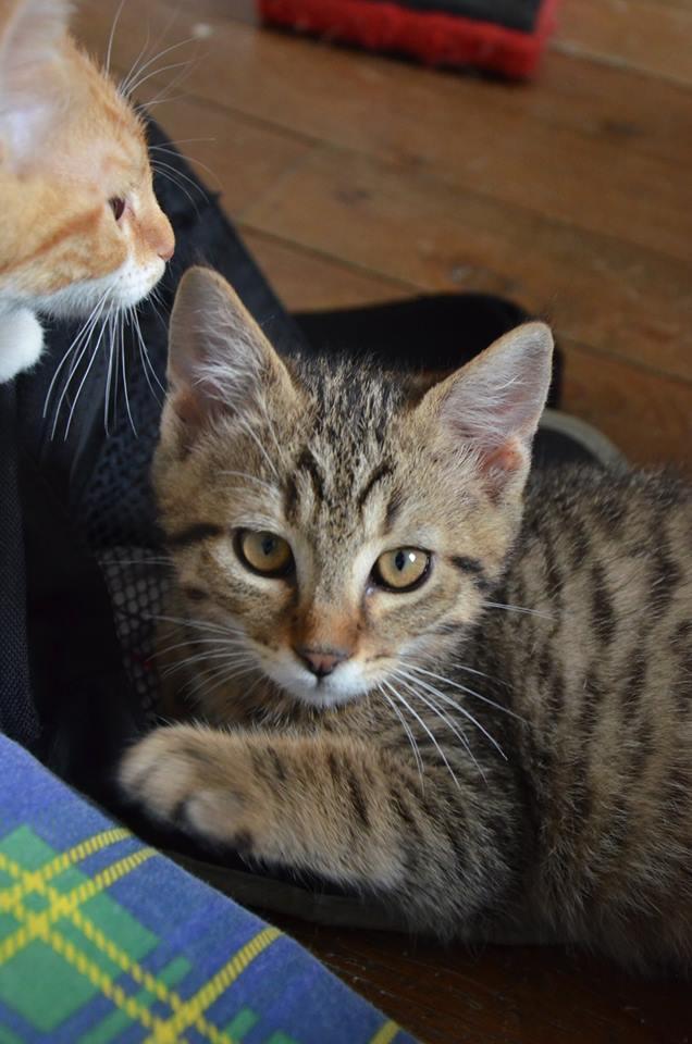 Chamallow, adorable chaton tigré ronronneur - réservé Chamal11