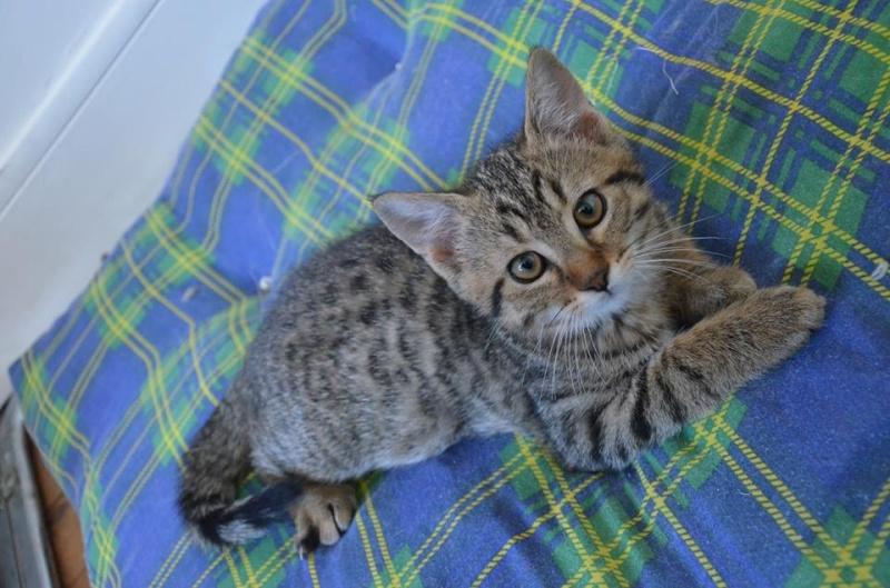 Chamallow, adorable chaton tigré ronronneur - réservé Chamal12
