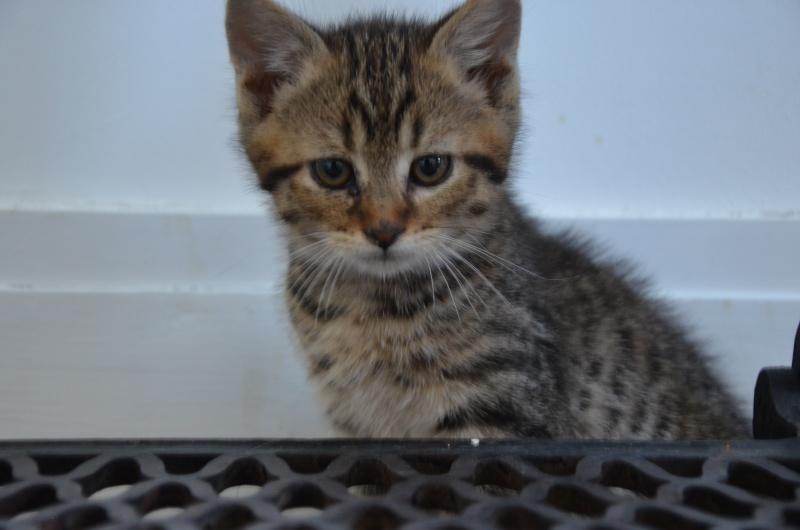 Chamallow, adorable chaton tigré ronronneur - réservé Dsc_1917