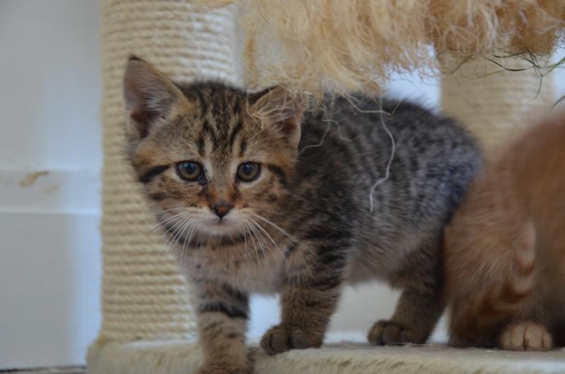 Chamallow, adorable chaton tigré ronronneur - réservé Dsc_1918
