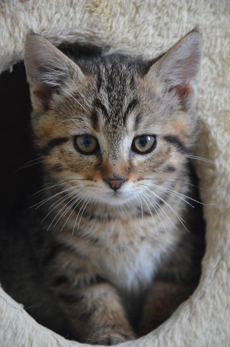 Chamallow, adorable chaton tigré ronronneur - réservé Dsc_1919