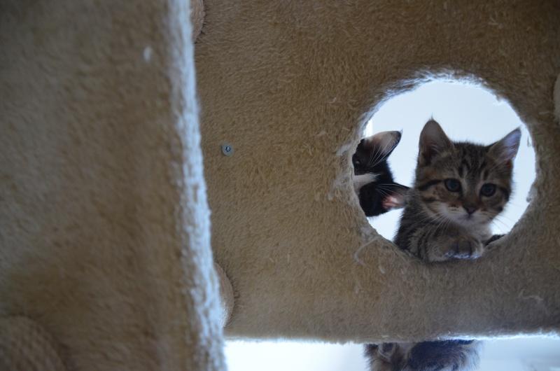 Chamallow, adorable chaton tigré ronronneur - réservé Dsc_1920