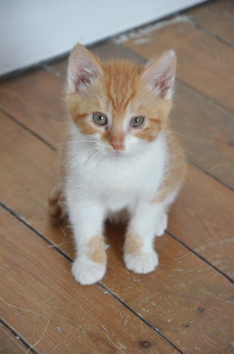 Pitch, le chaton parfait, roux et blanc, né mi-mars 2014 - réservé Dsc_2010