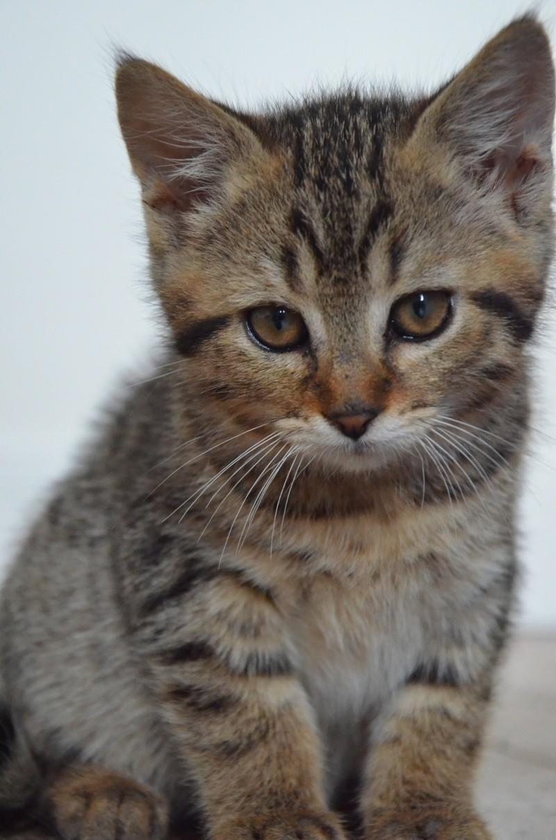 Chamallow, adorable chaton tigré ronronneur - réservé Dsc_2011