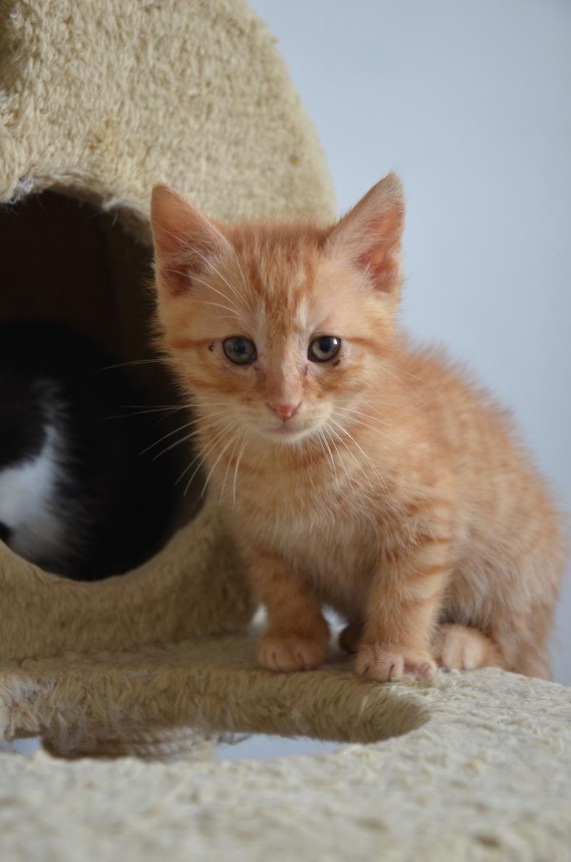 Pim's, petit chaton roux à croquer - réservé Dsc_2012