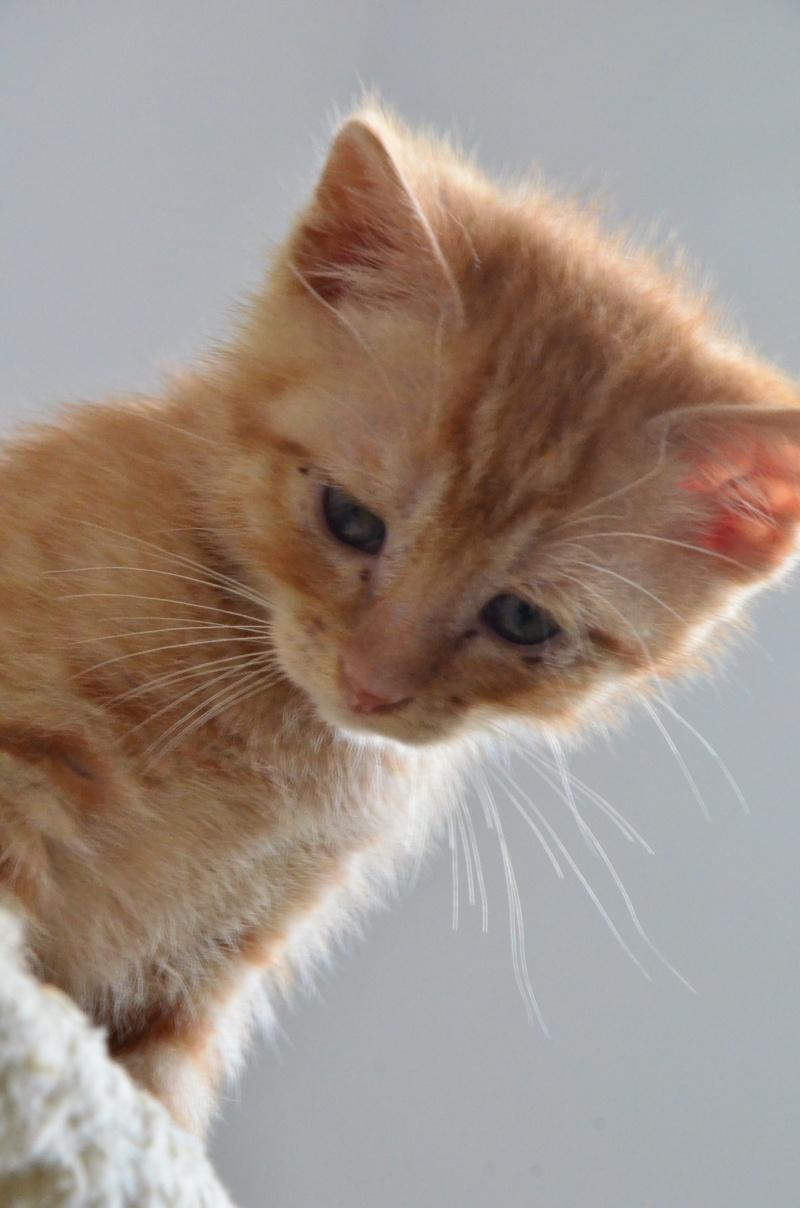 Pim's, petit chaton roux à croquer - réservé Dsc_2014