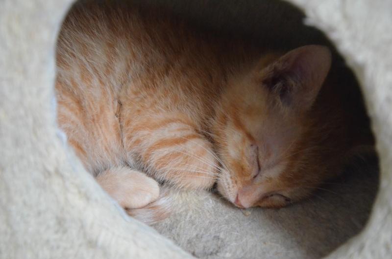 Pim's, petit chaton roux à croquer - réservé Dsc_2016