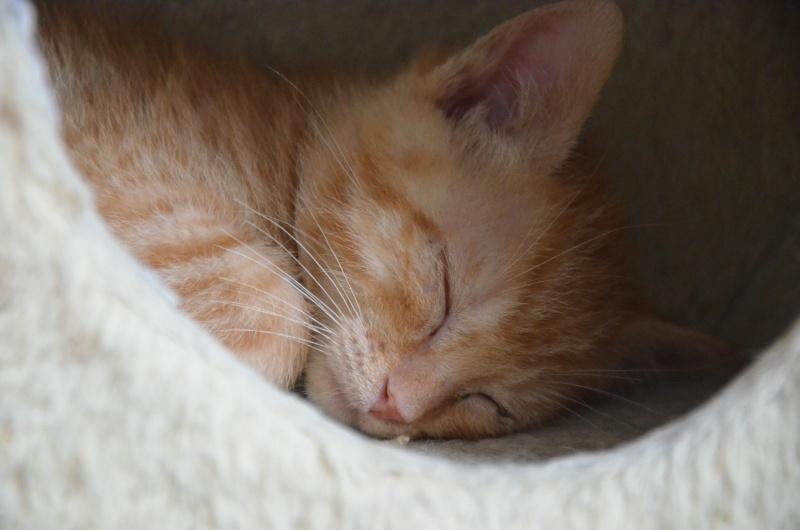 Pim's, petit chaton roux à croquer - réservé Dsc_2019