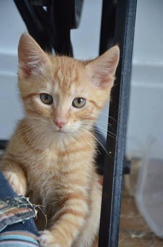 Pim's, petit chaton roux à croquer - réservé Pim_s10