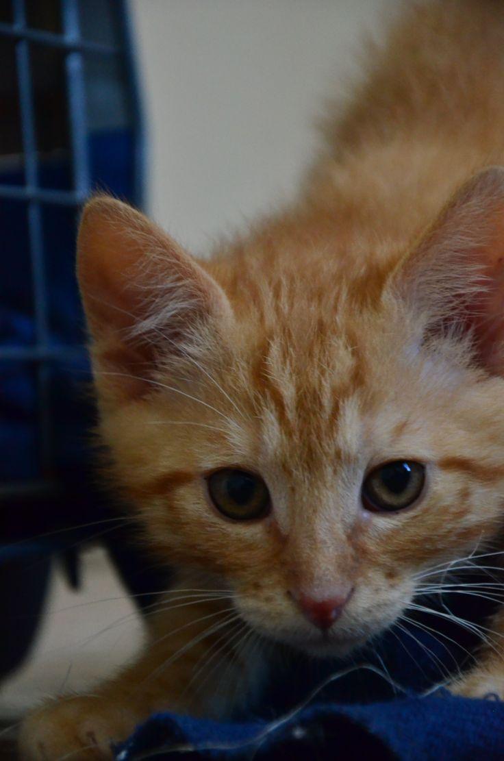 Pim's, petit chaton roux à croquer - réservé Pim_s_10