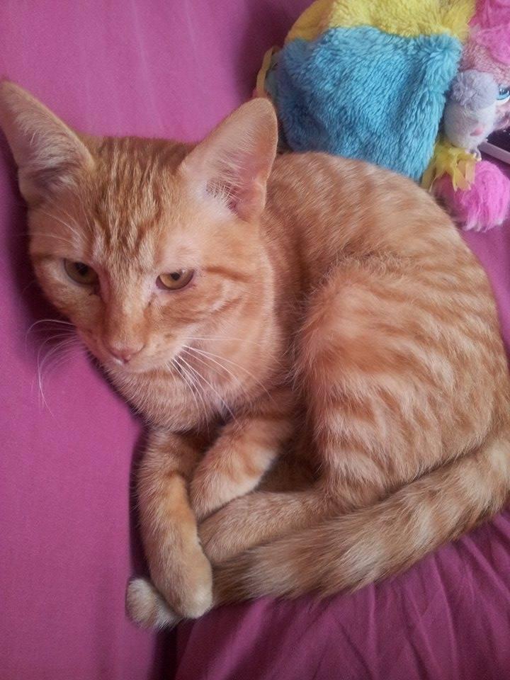 Pim's, petit chaton roux à croquer - réservé Pim_s_11