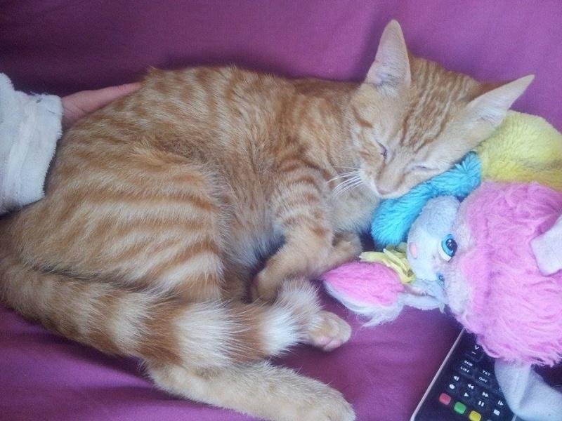 Pim's, petit chaton roux à croquer - réservé Pim_s_14