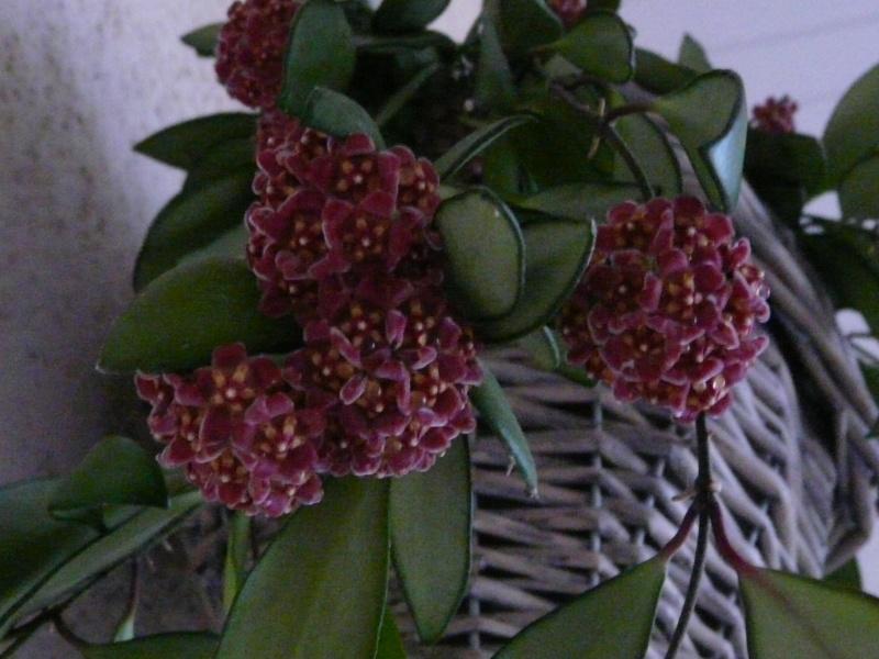 Hoya davidcummingii P1060613