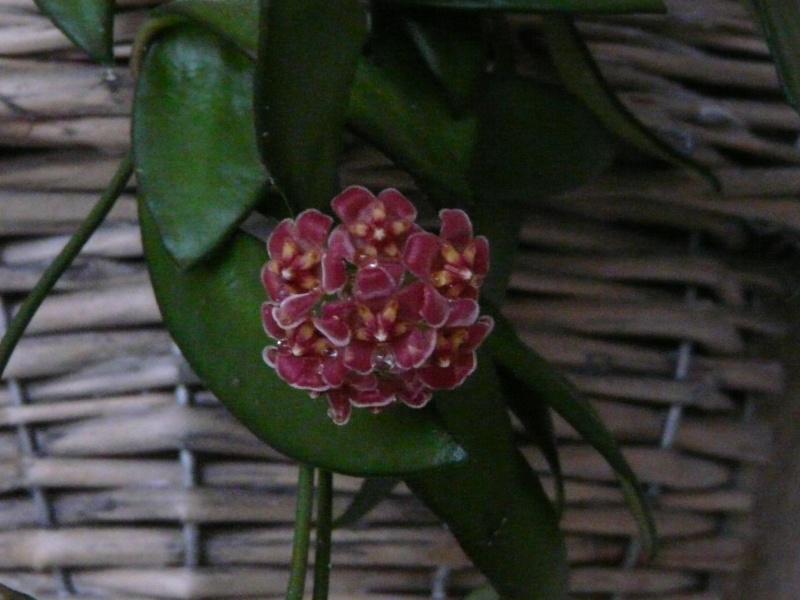 Hoya davidcummingii P1060614