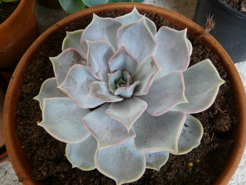 Echeveria lilacina P1060716