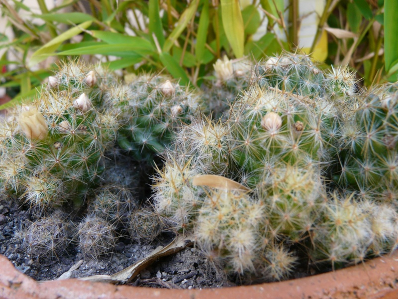 Parodia chrysacanthion ? Mammillaria prolifera ? [identifications à confirmer] P1060723