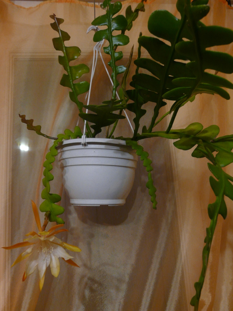 Epiphyllum anguliger P1070615