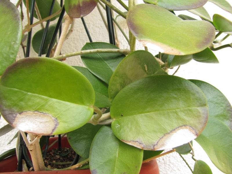 Hoya Carnosa Australis H-aust13
