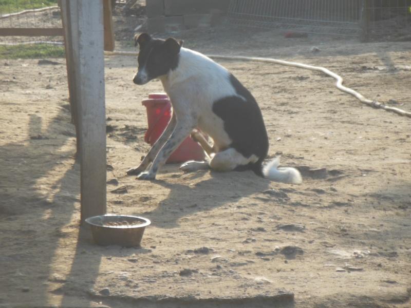 GAYA- femelle noir et blanc née en 2013- parrainée par Skara - SC-SOS-R- 01313