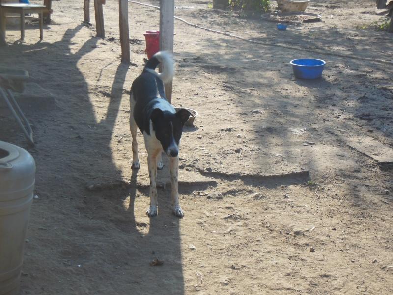 GAYA- femelle noir et blanc née en 2013- parrainée par Skara - SC-SOS-R- 02412