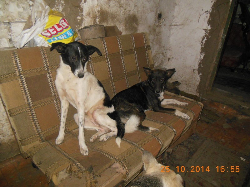 GAYA- femelle noir et blanc née en 2013- parrainée par Skara - SC-SOS-R- 02712