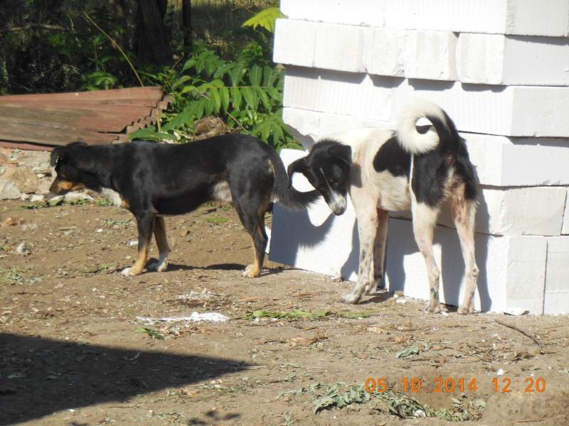 GAYA- femelle noir et blanc née en 2013- parrainée par Skara - SC-SOS-R- 03711