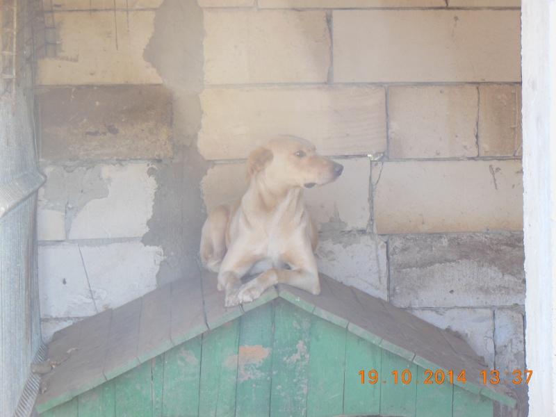 BOX (trois) , croisé labrador, né en 2007 -  Parrainée par Samie -R-F-SOS-SC- - Page 2 Pict1373