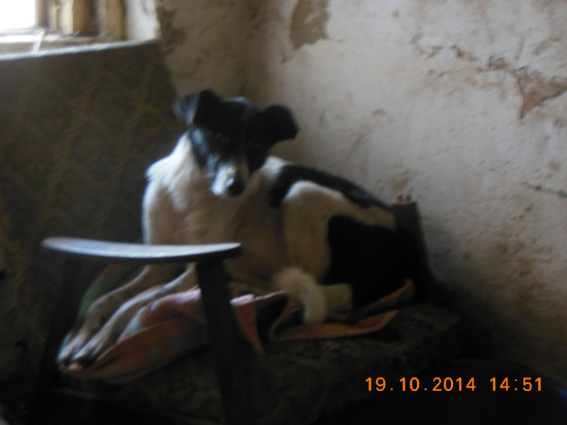 GAYA- femelle noir et blanc née en 2013- parrainée par Skara - SC-SOS-R- Pict1462