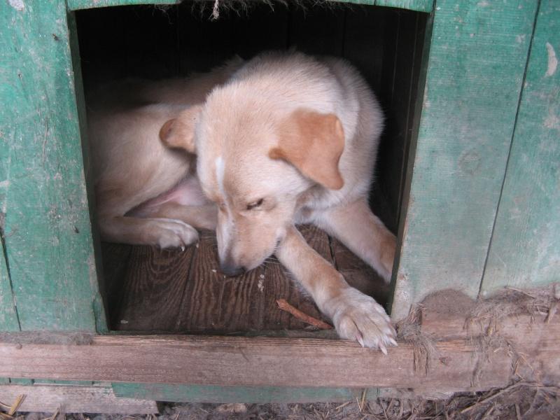 BOX (trois) , croisé labrador, né en 2007 -  Parrainée par Samie -R-F-SOS-SC- Pictu212
