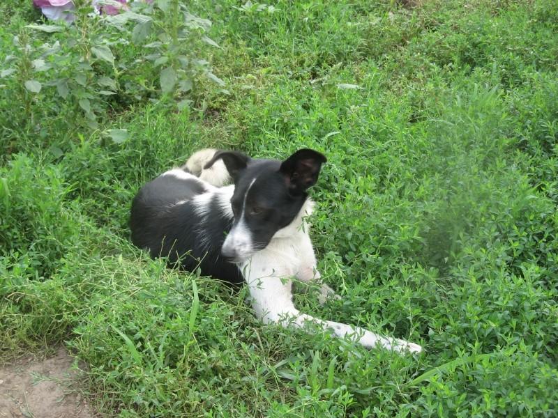 GAYA- femelle noir et blanc née en 2013- parrainée par Skara - SC-SOS-R- Pictu392