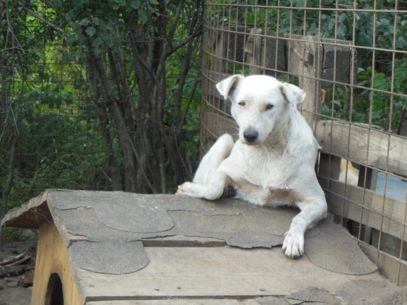 DULCE - Magnifique femelle Blanche - née en 2009 - Parrainée par Samie -SOS-FB-R-SC-  Pictu758