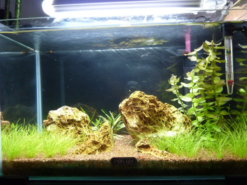 """20 litres """"type"""" aquascaping [FIN] - Page 5 P1170812"""