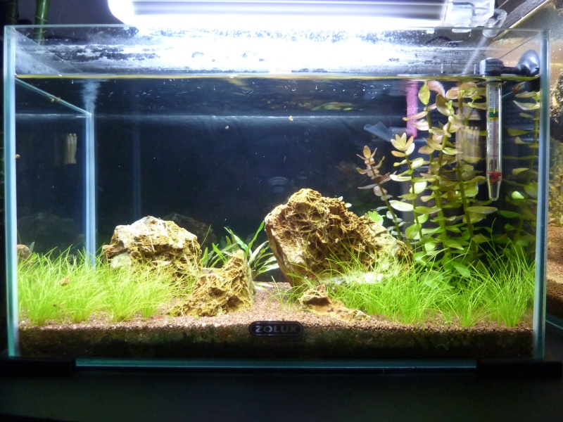 """20 litres """"type"""" aquascaping [FIN] - Page 5 P1170910"""
