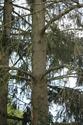 Arbres porteurs pour plateforme dans les arbres Img_1613
