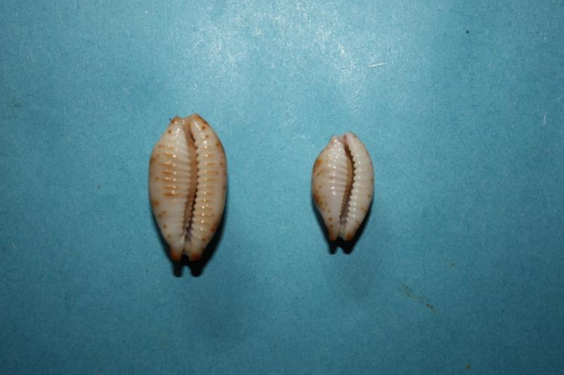 Bistolida stolida kwajaleinensis - (Martin & Senders, 1983)  Img_3812