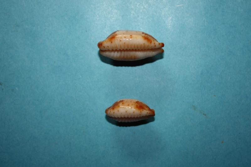Bistolida stolida kwajaleinensis - (Martin & Senders, 1983)  Img_3813